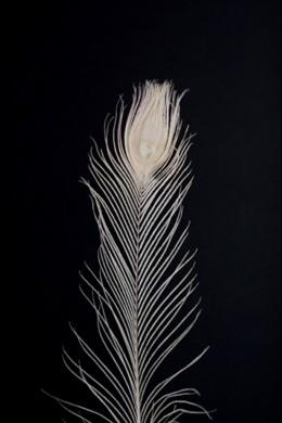 Egg Peacock Eye Tail Feather [FTRPCKEGG]