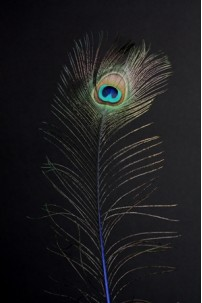 Natural Peacock Eye Tail Feather [FTRPCKNAT]