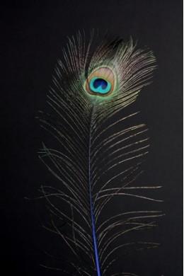 Natural Peacock Eye Tail Feather [FTRPCKNAT]