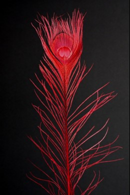 Red Peacock Eye Tail Feather [FTRPCKRED]