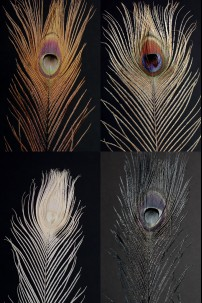 Brown, Black, Egg and Irid Peacock Eye Tail Feather Assortment [FTRPCKAST]